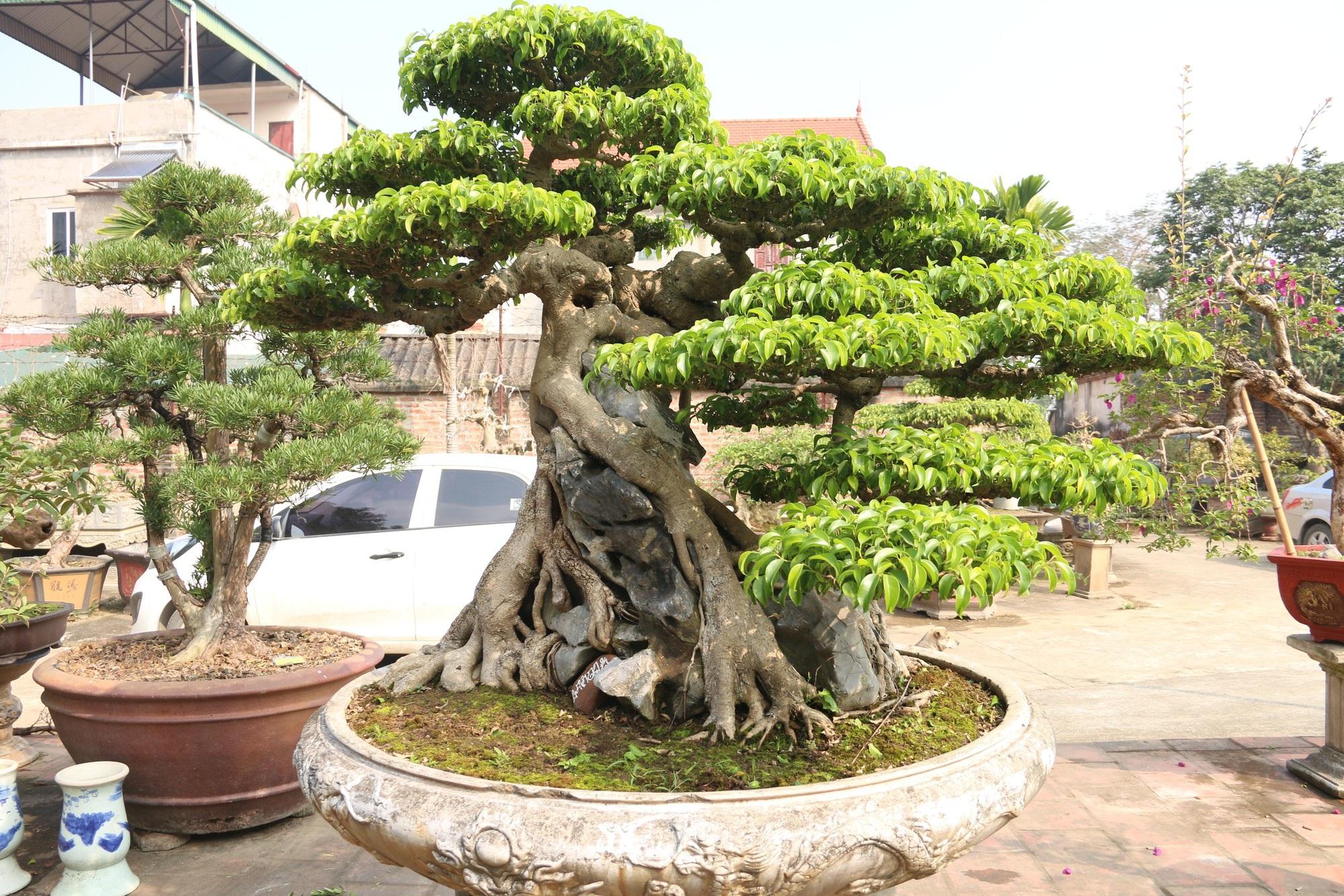 Chiêm ngưỡng sanh cổ dáng phượng giá triệu đô của ông vua cây cảnh Việt Nam - Ảnh 4.