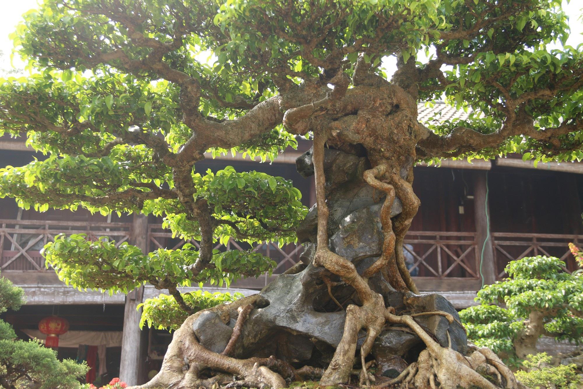 Chiêm ngưỡng sanh cổ dáng phượng giá triệu đô của ông vua cây cảnh Việt Nam - Ảnh 12.