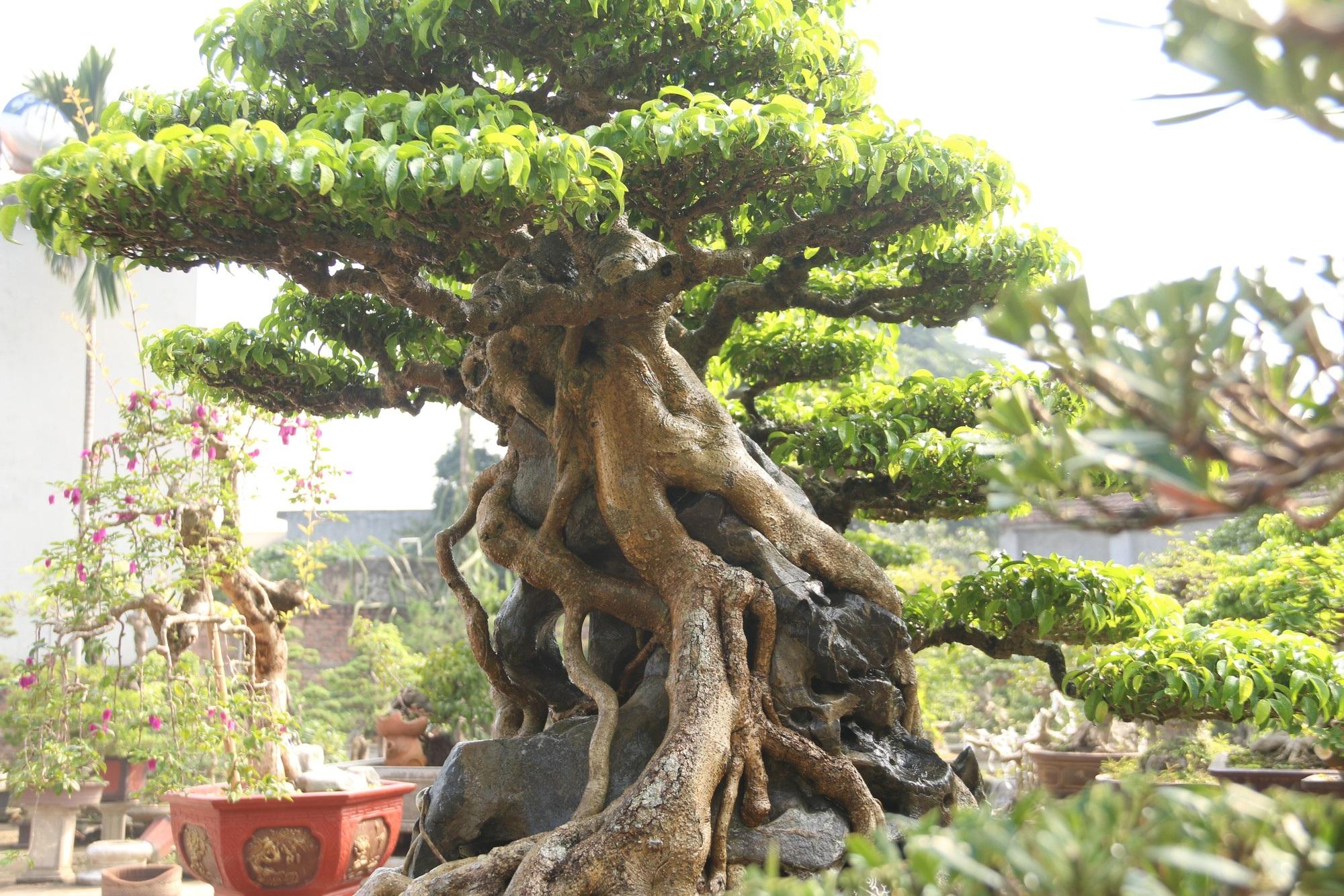 Chiêm ngưỡng sanh cổ dáng phượng giá triệu đô của ông vua cây cảnh Việt Nam - Ảnh 5.