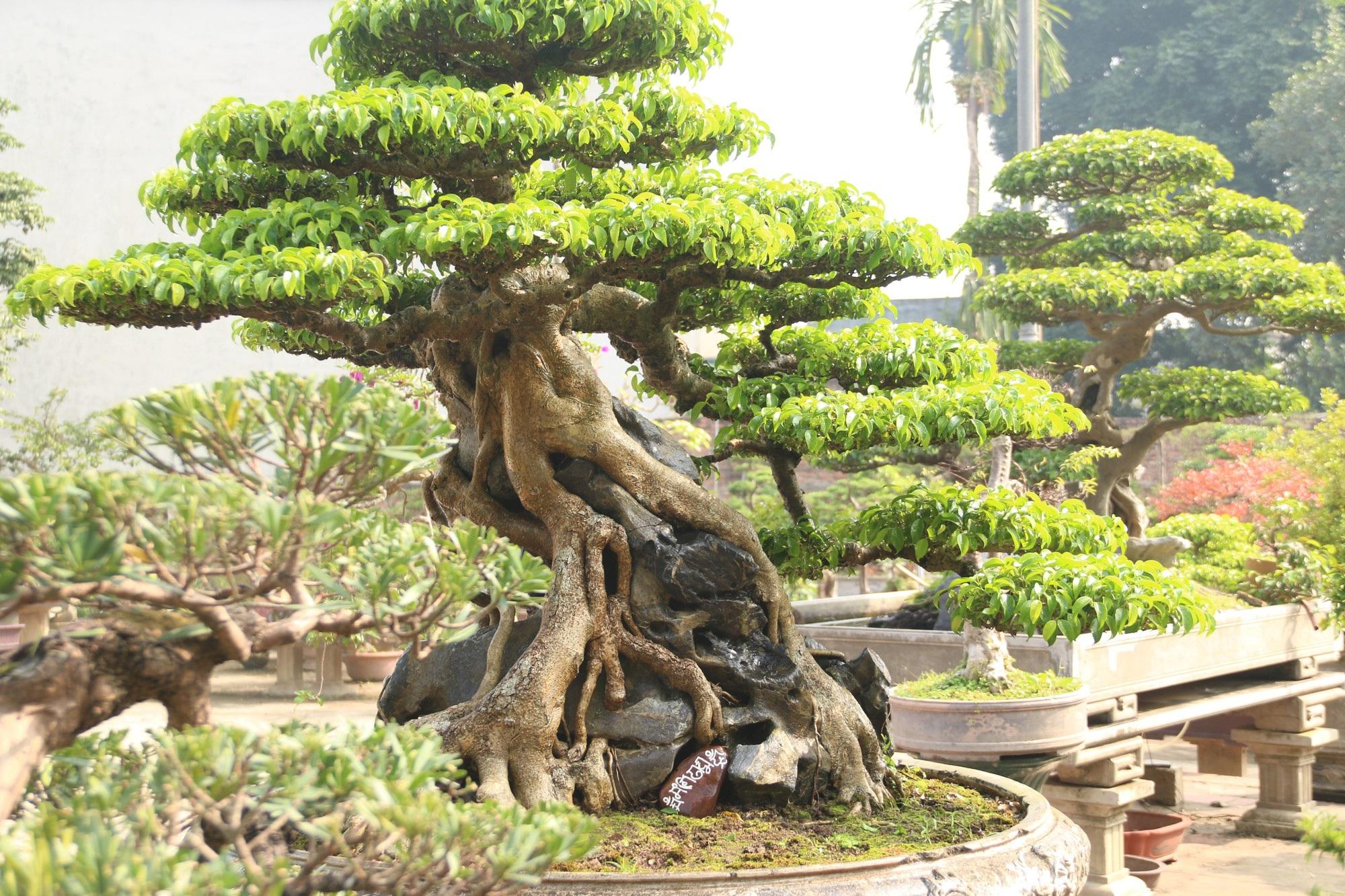 Chiêm ngưỡng sanh cổ dáng phượng giá triệu đô của ông vua cây cảnh Việt Nam - Ảnh 3.