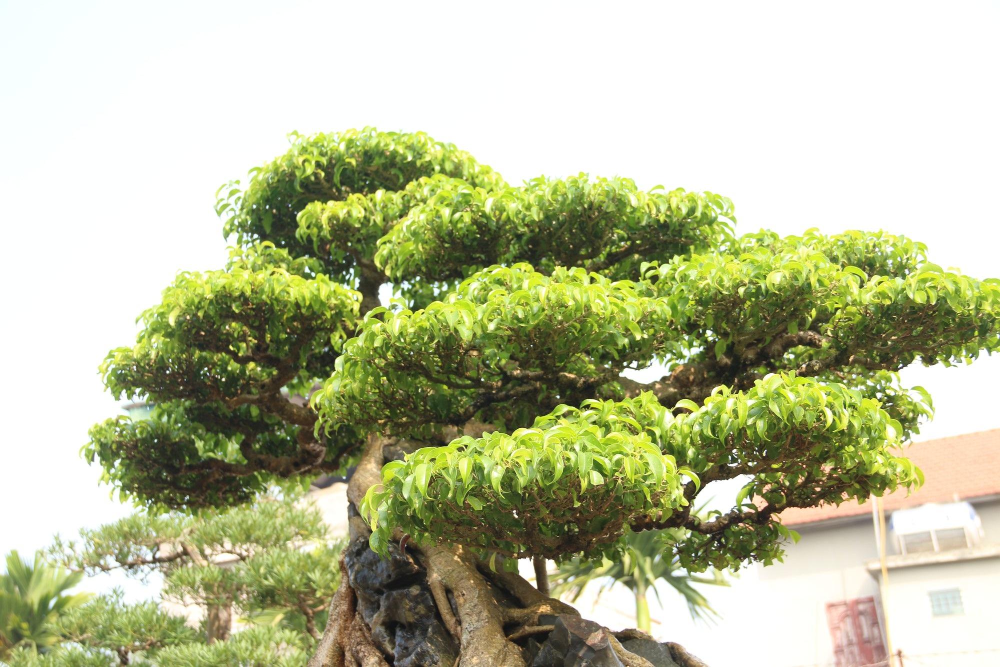 Chiêm ngưỡng sanh cổ dáng phượng giá triệu đô của ông vua cây cảnh Việt Nam - Ảnh 9.