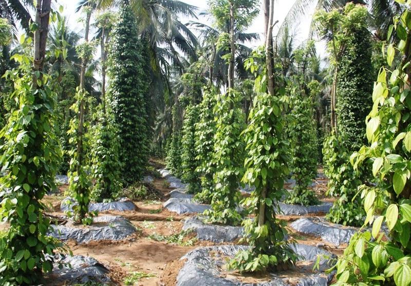 Độc chiêu trồng tiêu cho bám thân dừa mang hiệu quả kép - Ảnh 3.
