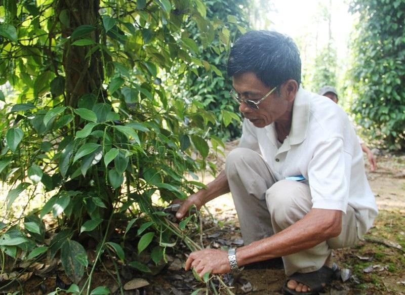 Độc chiêu trồng tiêu cho bám thân dừa mang hiệu quả kép - Ảnh 4.