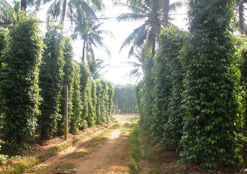 Độc chiêu trồng tiêu cho bám thân dừa mang hiệu quả kép - Ảnh 2.
