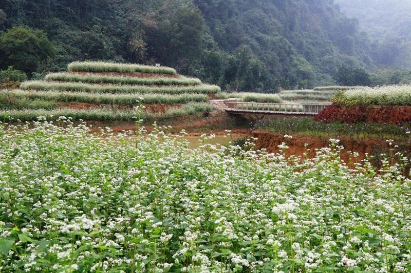 """""""Lạc trôi"""" giữa vườn tam giác mạch khoe sắc ở di sản Tràng An - Ảnh 2."""