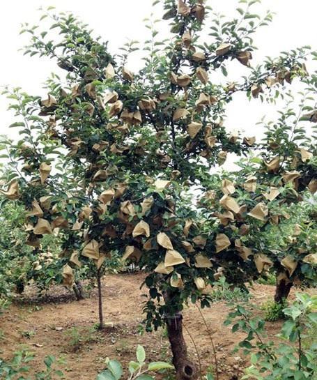 Ấn Độ: Lo sợ nhiễm loại hóa chất độc hại, cấm cửa táo Trung Quốc - Ảnh 2.