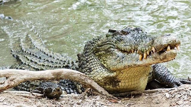 Cá sấu nước mặn ở Philippines được xếp trong danh sách những động vật quý cần được bảo vệ