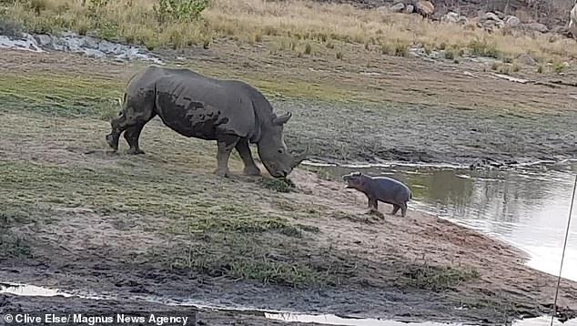 Hà mã con đe dọa con tê giác trưởng thành khi nó tiến gần về phía hồ nước