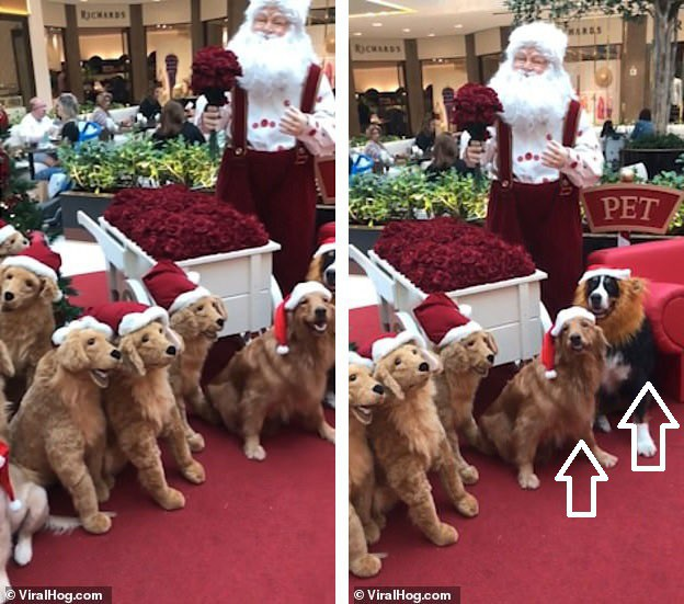 Những chú chó thật trong bài trí Giáng sinh