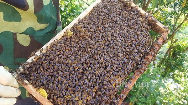 Một đàn ông trung bình có khoảng 2.000 con ong gồm: ong chúa, ong lấy mật, ong đực, ong cảnh vệ...