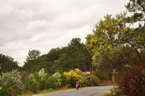 Tháng 12 đã về, đông đã đến, sao còn chưa rủ nhau lên Đà Lạt săn hoa mimosa . Ảnh: pcxclubvn