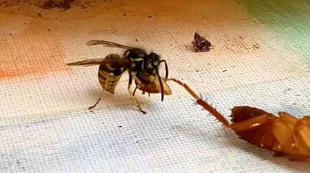 Khoảnh khắc con ong bắp cày cắt đứt đầu gián trước khi mang chiếc đầu bay đi