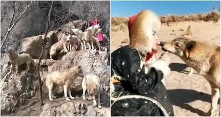 """Xinyue được mệnh danh là """"nữ hoàng sói"""" vì không sợ loài động vật này"""