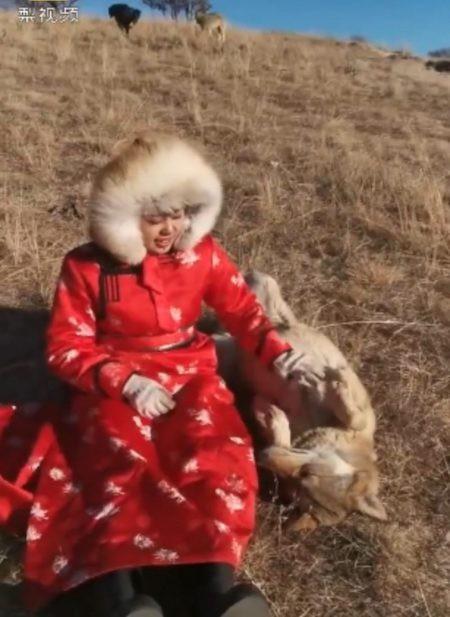 Xinyue rất gần gũi với bầy sói và dễ dàng tiếp cận chúng
