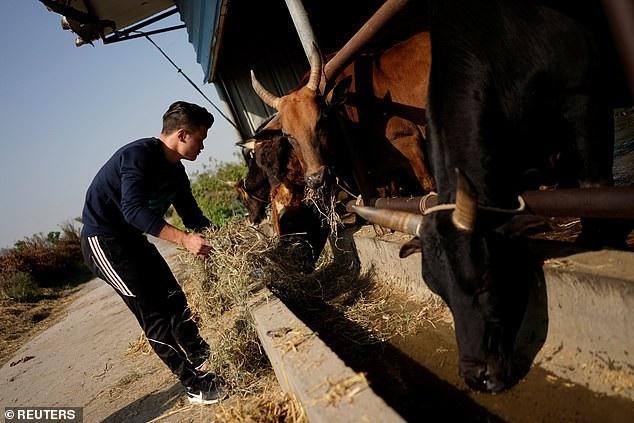 Vào thời gian rảnh, họ sẽ cho bò ăn và chăm sóc chúng