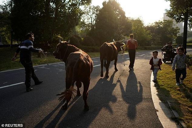 Dắt bò dạo quanh khuân viên của trường dạy võ kungfu ở tỉnh Jianxing
