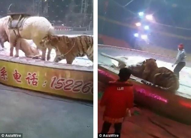 Hổ và sư tử cùng tấn công con ngựa trong lúc luyện tập. Sự việc được ghi lại tại một gánh xiếc nằm ở Thương Châu, Hà Bắc, Trung Quốc.