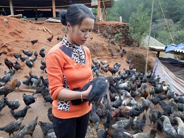 Đàn gà đen hàng nghìn con của chị Sênh con nào, còn nấy khỏe mạnh, lớn nhanh