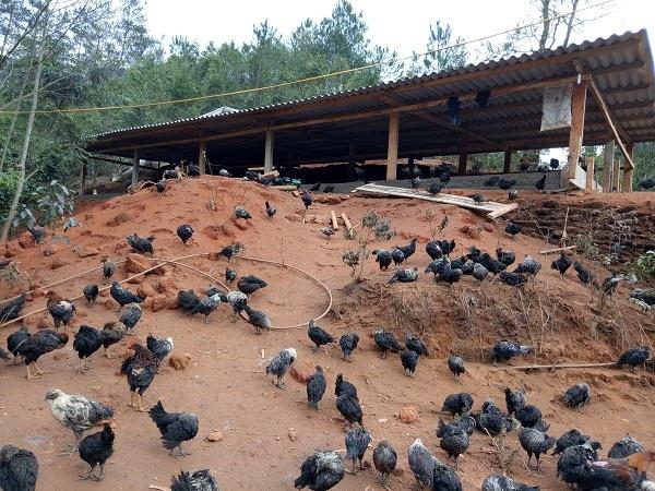 Khu chăn nuôi của chị Sênh rộng rãi, thoáng mát nên gà tự do bay nhảy, thịt rắn chắc, thơm ngon