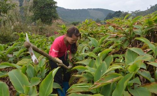 Diện tích trồng dong riềng ngày càng mở rộng trên địa bàn xã Húc Động.