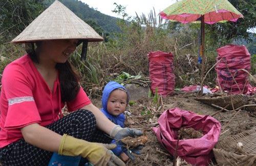 Chị Trần Thị Sẹc thu hoạch củ dong vào cuối vụ.