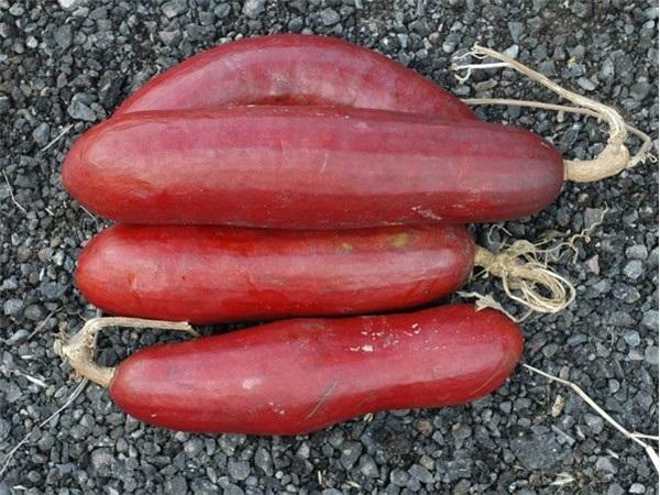 Giống dưa chuột vỏ đỏ cho trái to lớn và màu sắc bắt mắt.