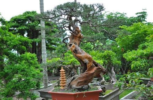Đa phần các cây đều có tuổi đời lâu năm, được ông Ngọ lùng mua ở khắp mọi miền đất nước sau đó tự mình uốn thế, chỉnh sửa.