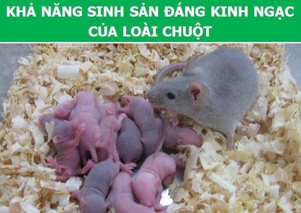 Cùng khám phá những thông tin thú vị về loài chuột - 2