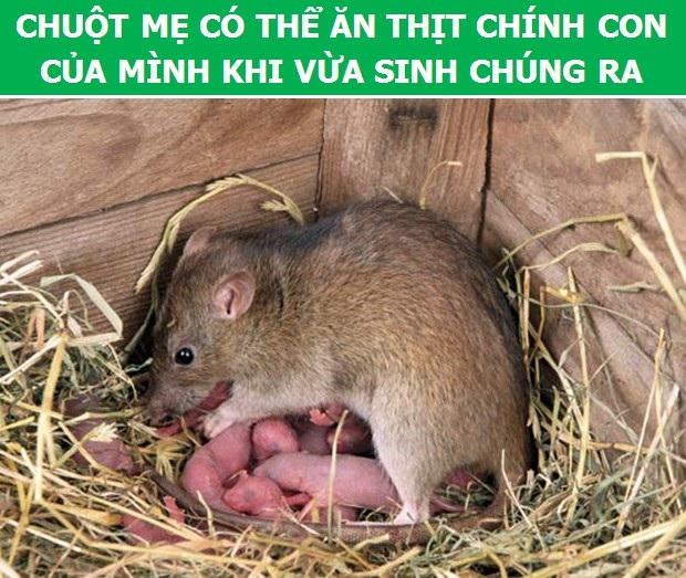Cùng khám phá những thông tin thú vị về loài chuột - 7
