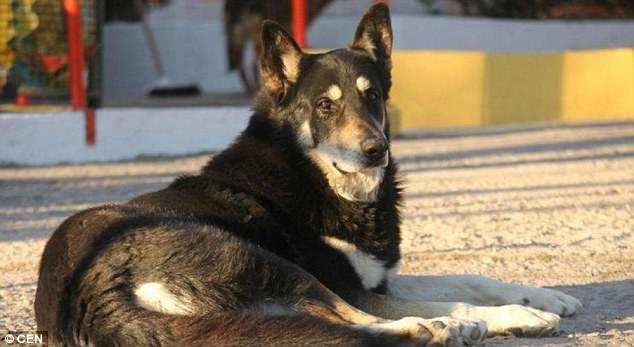 Gia đình của ông Miguel Guzman đã nhiều lần đưa Capitan về nhà, nhưng chú chó luôn trốn đi để được trở lại nghĩa trang, trở về bên ngôi mộ của người chủ đã mua chú về và tự tay chăm sóc cho chú đến tận khi qua đời.