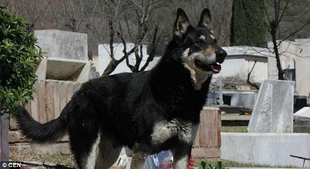 Chú chó Capitan đã bỏ nhà đi chỉ một thời gian ngắn sau khi ông Miguel Guzman qua đời và bằng một cách nào đó, chú ta đã tìm được nơi yên nghỉ của chủ ở cách nhà khá xa, dù trước đó chưa hề được gia đình cho tới thăm mộ chủ lần nào.