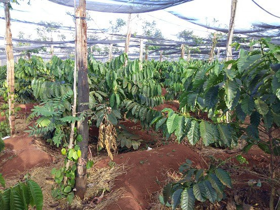 Những vườn cà phê mọc lên để thay thế vườn tiêu chết