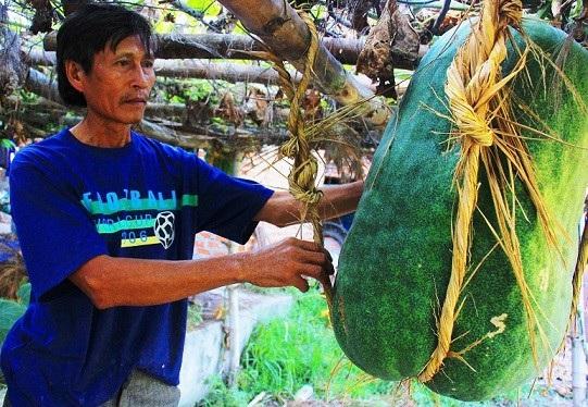 Bí đao được trồng ở làng Chánh Trạch 1 và Chánh Trạch 2 (xã Mỹ Thọ, huyện Phù Mỹ, Bình Định) có trọng lượng lên đến gần 100kg/quả. Đặc biệt, vùng đất này có những điều bí ẩn tạo nên bí đao kỷ lục mà rất ít người biết đến.
