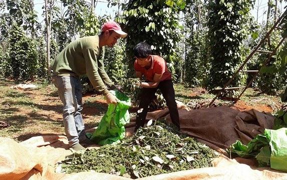 Đã vào chính vụ hồ tiêu, nhưng nhiều hộ nông dân đỏ mắt tìm nhân công thu hái