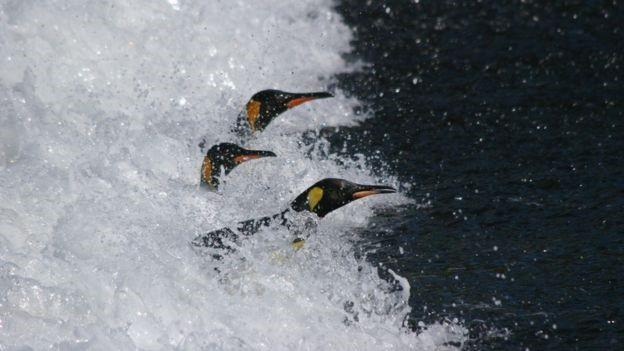 700km là giới hạn khoảng cách chim cánh cụt Vua có thể đi kiếm thức ăn trước khi để con cái chết đói.
