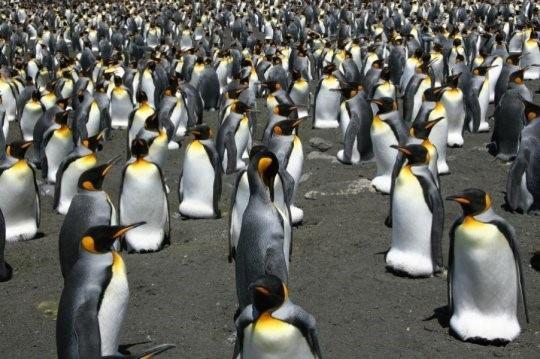 Chim cánh cụt Vua có lẽ sẽ sớm di cư - 1