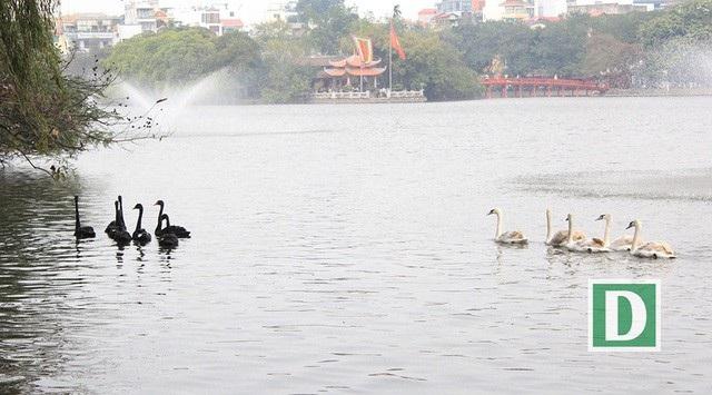 12 con thiên nga đã được thả xuống hồ Hoàn Kiếm (Ảnh: Trần Thanh)