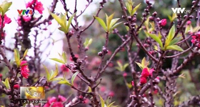 Hà Nội: Đào Thất Thốn nở đúng dịp Tết nhờ chăm sóc phù hợp - 3