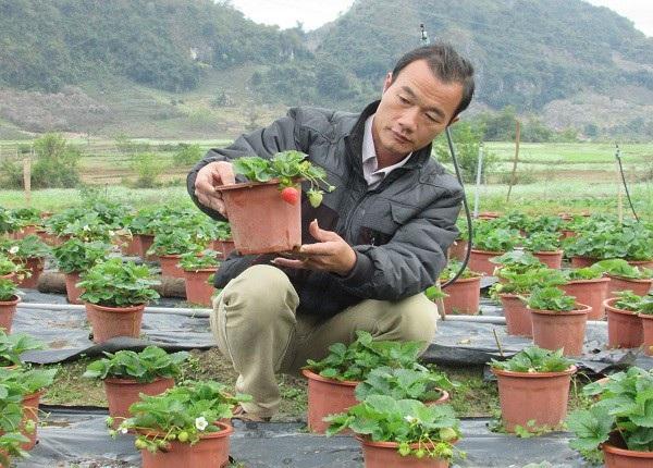Nhờ cách chăm sóc đúng khoa học kỹ thuật nên vườn dâu tây của ông Tý sinh trưởng rất tốt