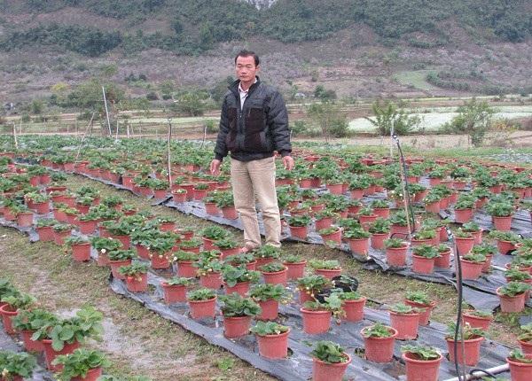 Hàng ngày ông Tý dành nhiều thời gian quan sát quá trình phát triển của dâu tây tại vườn