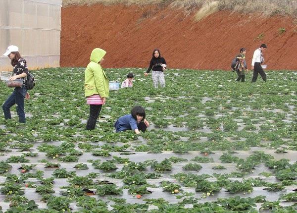 Vào những ngày giáp Tết âm lịch, rất nhiều khách hàng ở nhiều nơi kéo đến vườn gia đình ông Tý để mua dâu tây