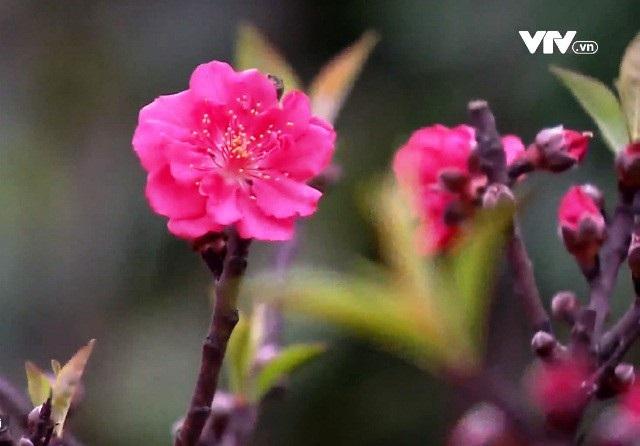 Hà Nội: Đào Thất Thốn nở đúng dịp Tết nhờ chăm sóc phù hợp - 1