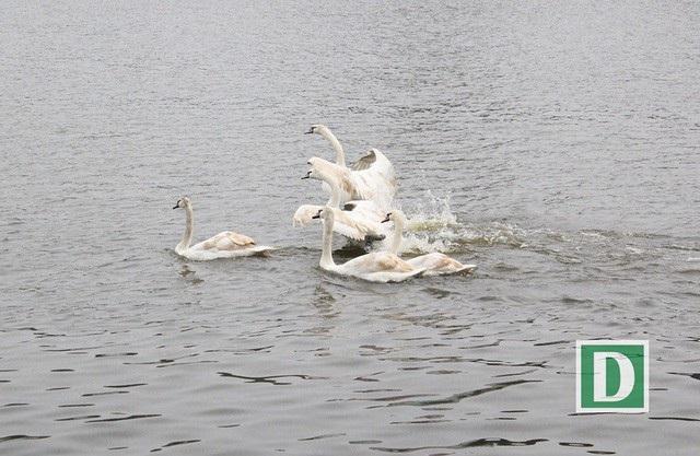 Đàn thiên nga được thả xuống hồ Hoàn Kiếm trong ngày 5/2, nhưng phải di chuyển luôn trong tối cùng ngày