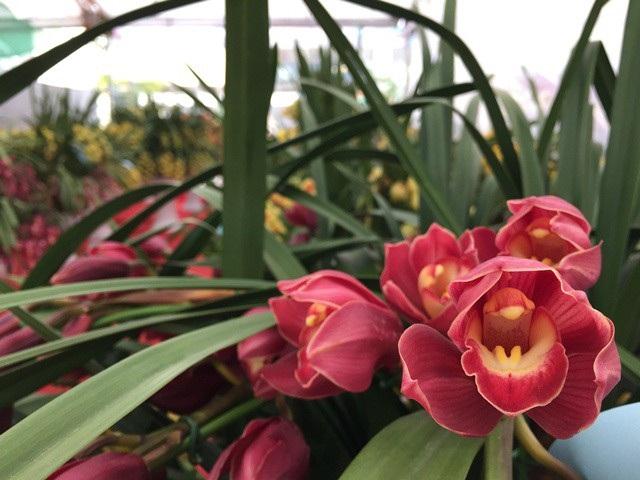 Địa lan năm nay được nhận định có thể giá sẽ rẻ hơn và trở thành loại kiểng bình dân vì khí hậu năm nay thuận lợi cho hoa địa lan ở Việt Nam lẫn từ thị trường Trung Quốc.