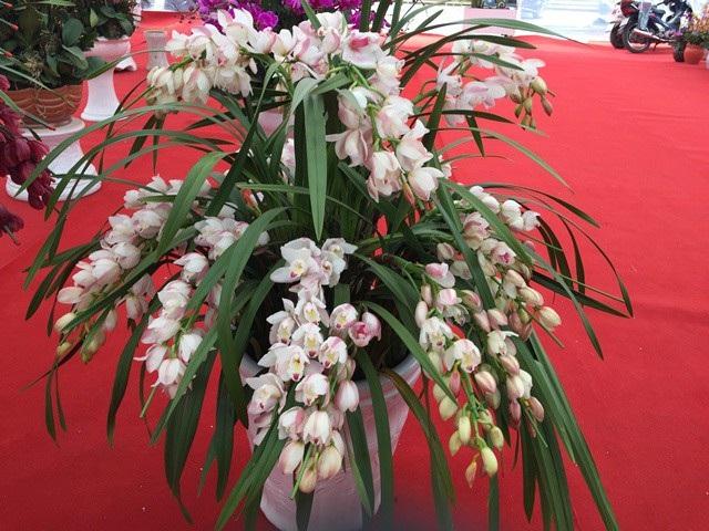 Nhiều loại địa lan được trồng trong nhà kính do vận chuyển đường dài, nhiệt độ nóng nên khi về Việt Nam đã héo và rũ xuống.