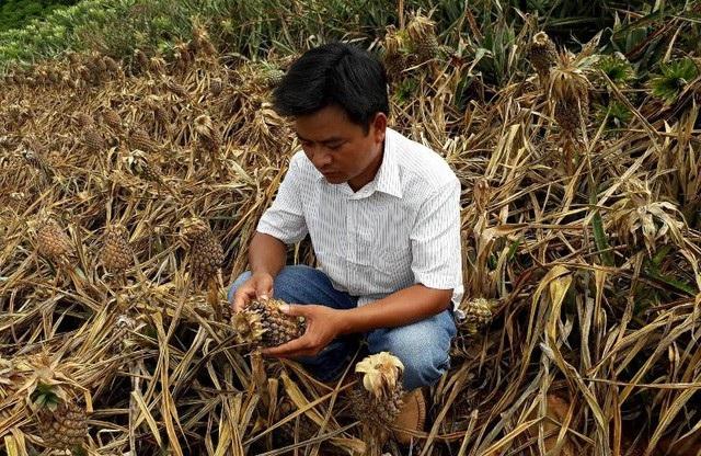 Anh Nguyễn Quang Mạnh, ở xã Hà Long, huyện Hà Trung đứt ruộ khi nhìn vườn dứa của gia đình chuẩn bị thu hoạch đã bị kẻ gian dùng thuốc cỏ tàn phá không thương tiếc.