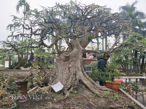 Cây me của anh Nam có dáng trực, cây cao khoảng trên dưới 2m và hiện đang được anh Nam phát giá 175 triệu đồng.