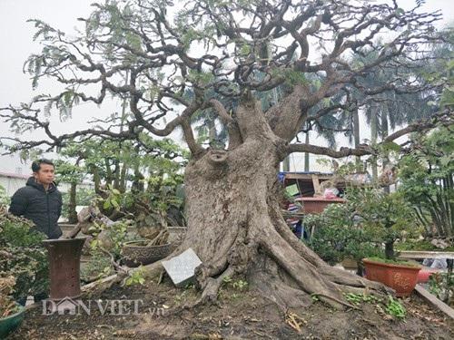 Cận cảnh cây me bonsai cổ thụ của anh Nam ở Đồng Nai.