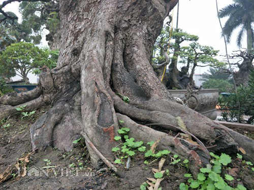 """""""Cụ"""" me bonsai trăm tuổi được rao bán gần 200 triệu ở Đồng Nai - 2"""
