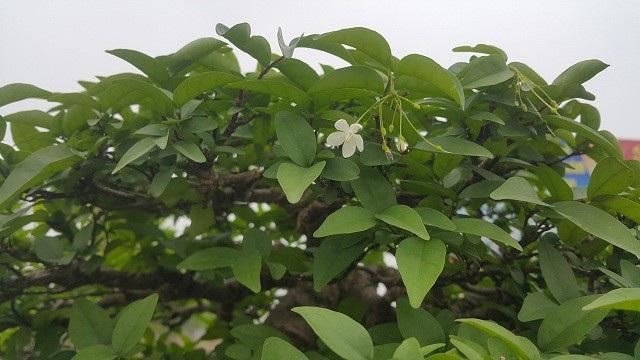 Khác với mai vàng, mai chiếu thủy có màu trắng và ra hoa quanh năm. Loại hoa còn này mang ý nghĩa phồn vinh, thịnh vượng và tài lộc cho người chơi.